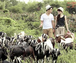 Chụp hình cưới cùng đàn cừu